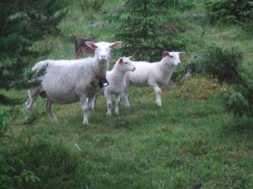 Bell Sheep